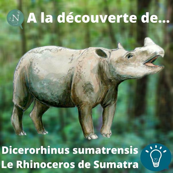 À la découverte de… Dicerorhinus sumatrensis (Rhinocéros de Sumatra) !